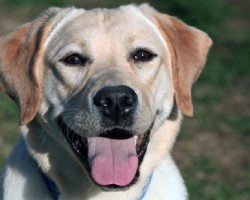 12 Realities New Labrador Owners Must Learn To Accept