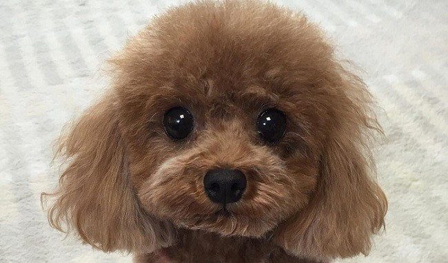 poodle-eyes-face.jpg