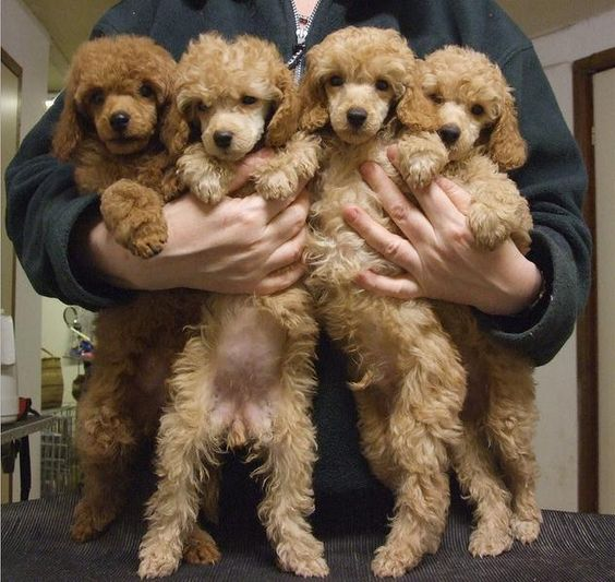 poodles dogs
