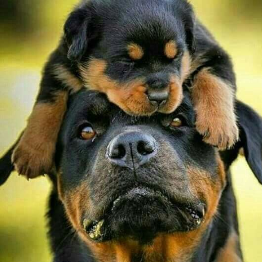 12 realities new rottweiler owners must accept