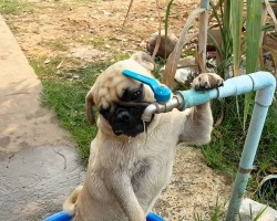 This Crafty Pug Puppy Shows Human He Needs No Water Bowl To Quench His Thirst