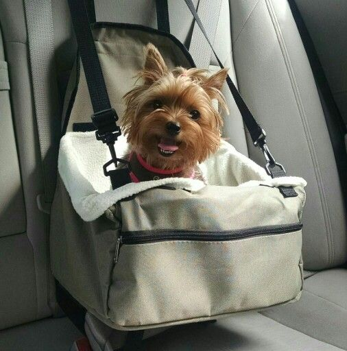 yorkie in car seat
