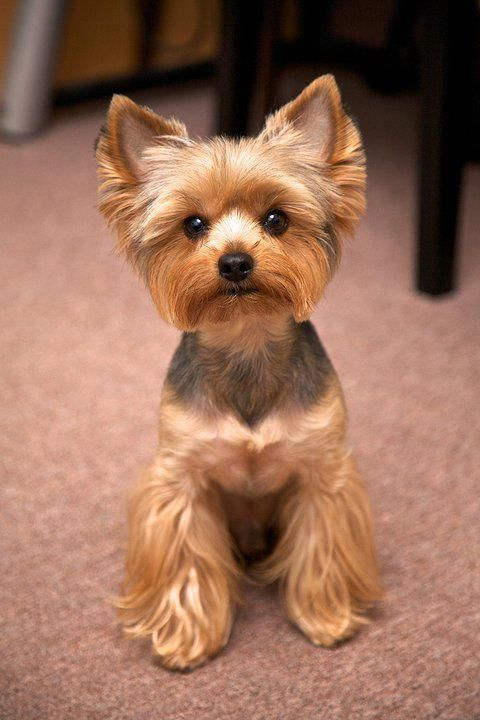 12 Realities New Yorkie Owners Must Accept