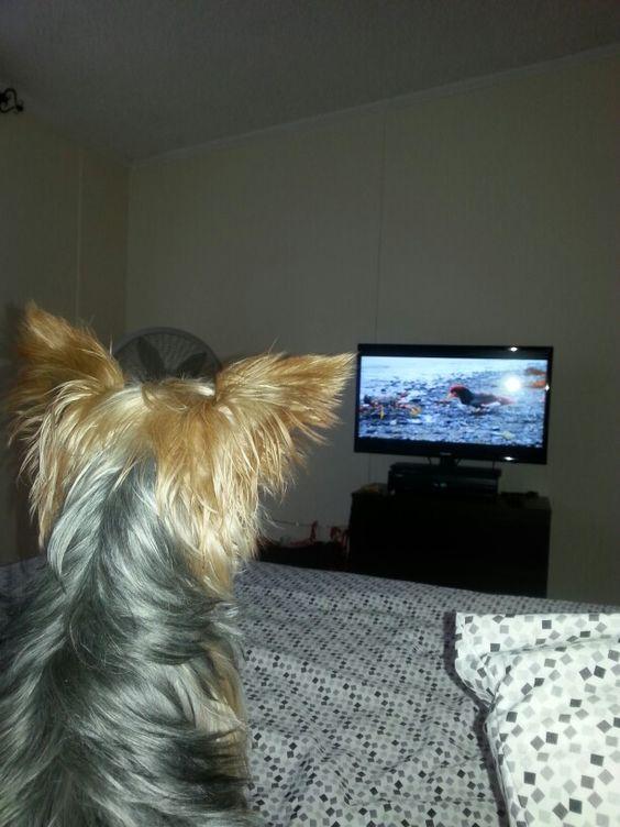 yorkie watching tv