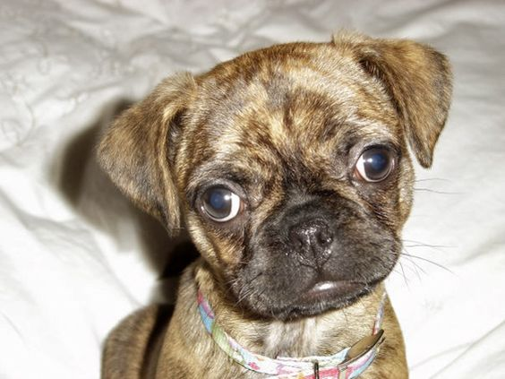 boston terrier pug mix 15 unreal pug cross breeds you ve got to see to believe 9197