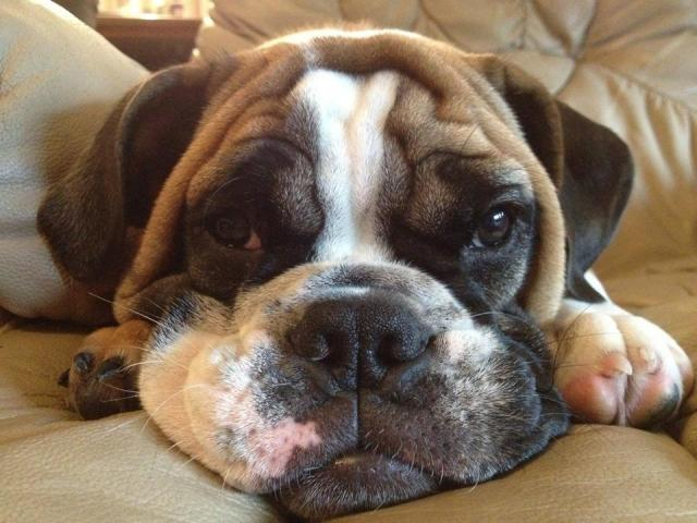 15 Unreal English Bulldog Cross Breeds
