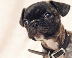 15 UNREAL Pug Cross Breeds You've Got To See To Believe