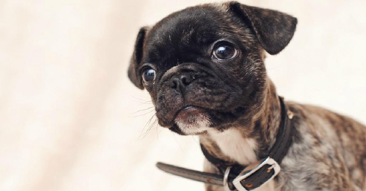 15 Unreal Pug Cross Breeds You Ve Got