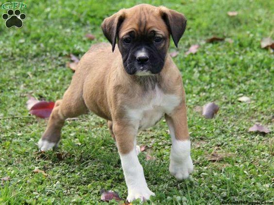 Poxer 2 = Boxer + Pug