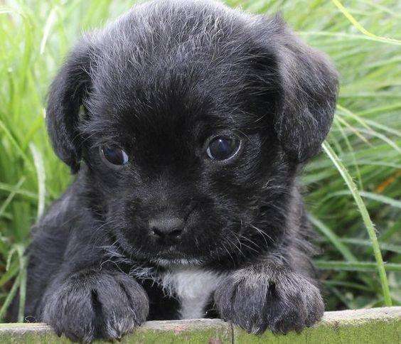 Pugapoo = Poodle + Pug