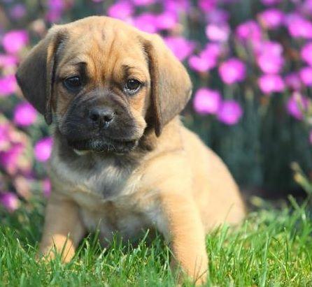 Puggle = Beagle + Pug