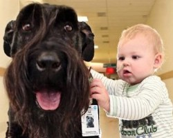 Selfless Giant Schnauzer Gives Hospital Children a New Leash of Life
