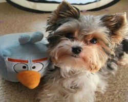 15 Signs That Indicate You're A Crazy Yorkshire Terrier Person… And Are Damn Proud of It!