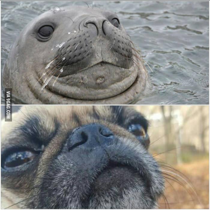 pug and seal