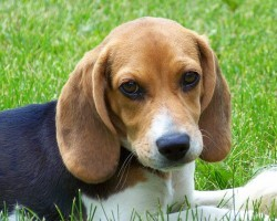 15 Signs That Indicate You're A Crazy Beagle Person… And Are Damn Proud of It!