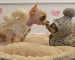 15 Signs That Indicate You're A Crazy Chihuahua Person… And Are Damn Proud of It!