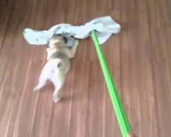 Cleaning the Floor Isn't a Fun Chore, Unless You Have A Pug Puppy Nearby!
