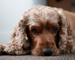 15 Signs That Indicate You're A Crazy Cocker Spaniel Person… And Are Damn Proud of It!