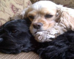 20 Things All Cocker Spaniel Owners Must Never Forget