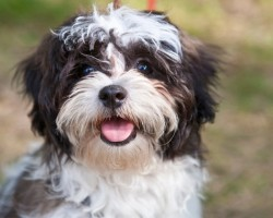 15 Signs That Indicate You're A Crazy Shih Tzu Person… And Are Damn Proud of It!