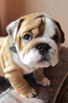 english bulldog 3
