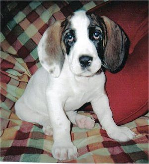 Cincinnati, OH - Bulldog/Basset Hound Mix. Meet Remington ...