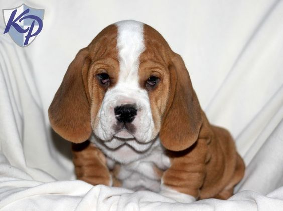 All About The Basset Hound English Bulldog Mix (Bully Basset)