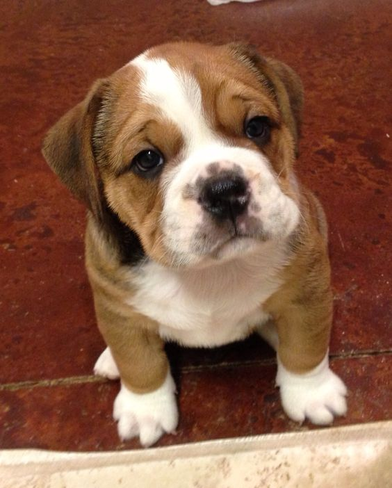 english bulldog pug mix puppies for sale 15 unreal english bulldog cross breeds you ve got to see 8981