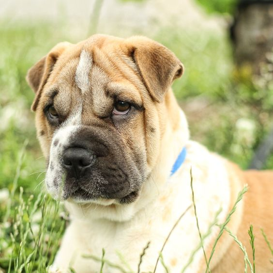shar pei french bulldog mix 15 unreal english bulldog cross breeds you ve got to see 175