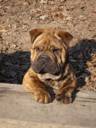 shar pei french bulldog mix 15 unreal english bulldog cross breeds you ve got to see 8384