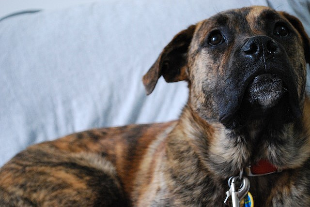 15 Unreal Boxer Cross Breeds You Ve Got To See To Believe