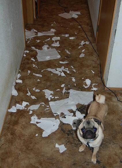 guilty pug