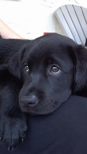 labrador retriever 6a