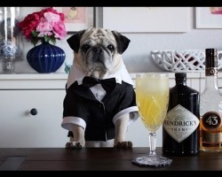 Meet Rocco: The Pug Bartender We Never Knew We Needed In Our Lives
