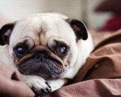 20 Things All Pug Owners Must Never Forget