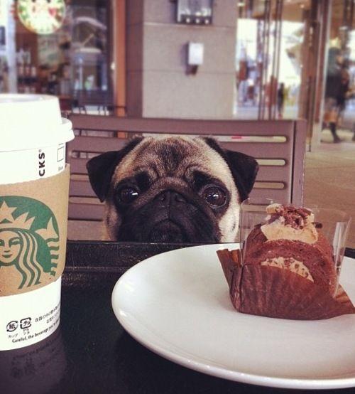 pug looks food