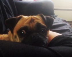 Pug Pretends To Be Asleep Until Mom Says THIS Magic Word