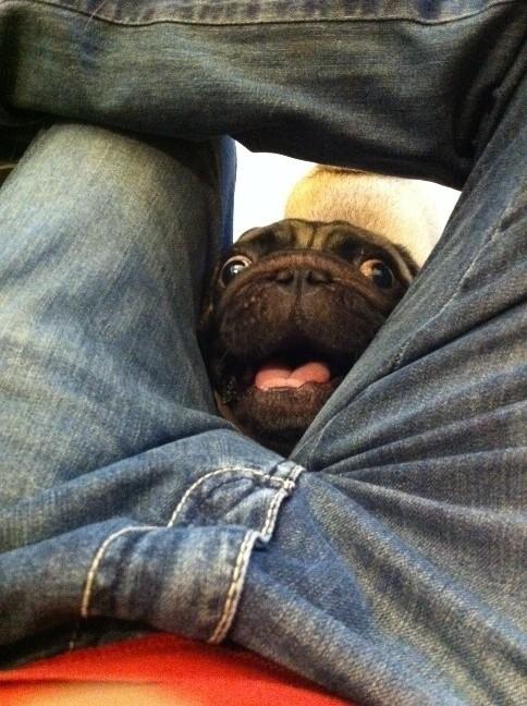 pug sticks head between peoples legs