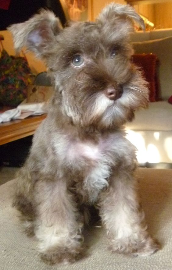 15 Signs That Indicate You Re A Crazy Schnauzer Person