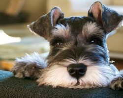 15 Signs That Indicate You're A Crazy Schnauzer Person… And Are Damn Proud of It!