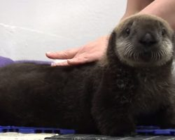 Shy Sea Otter Pup Gets Groomed And Her Reaction Is The Cutest