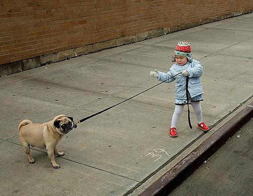 stubborn pug