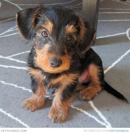 34 unreal dachshund cross breeds you�ve got to see to believe