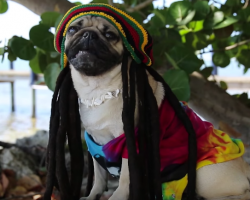 "Doug the Pug is ""Masta Of Rasta"" Promoting Peace, Love & Pugs!"