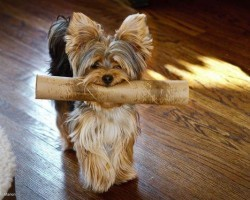 18 Reasons Why Yorkshire Terriers Are The Worst Dogs To Live With