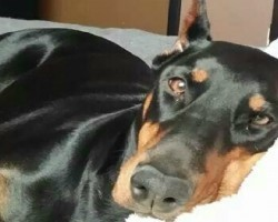 20 Things All Doberman Pinscher Owners Must Never Forget