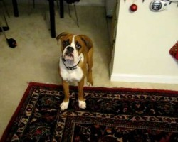 Dozer, The Boxer, Is Scared Of His Own Farts And It's Hilarious!!!