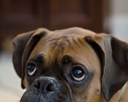 19 Reasons Why Boxers Are The Worst Dogs To Live With