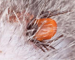 How To Safely Remove Ticks From Your Pet
