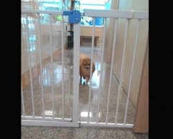 Tiny Dog Escapes Safety Gate In Hilarious Way